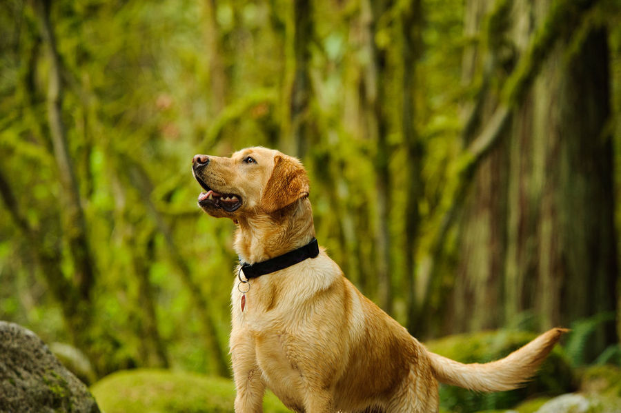 Yellow Labrador Retriever dog Nature Yellow Labrador Retriever Animal Themes Day Dog Domestic Animals Forest Labrador Retriever Mammal Nature No People One Animal Outdoors Pets Tree Yellow Labrador