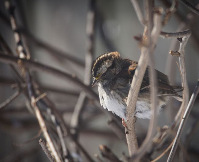White-Throated Sparrow Bird Bird Photography White-throated Sparrow Birds Of EyeEm  Sparrow Close-up EyeEm Selects Insect Close-up One Animal No People Animals In The Wild Day Nature Animal Wildlife Animal Themes Outdoors