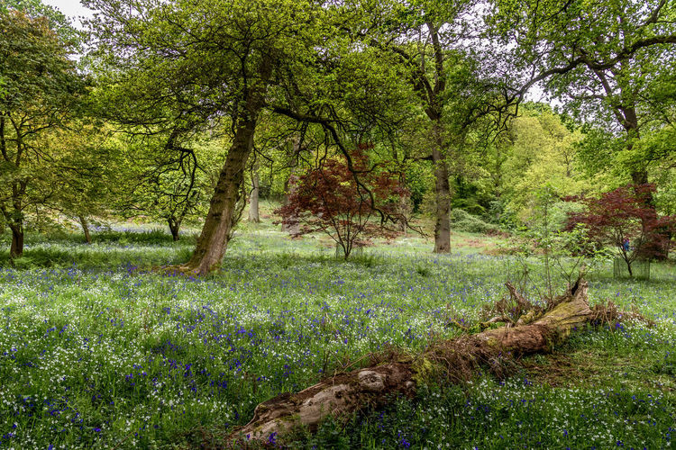 Bluebells at