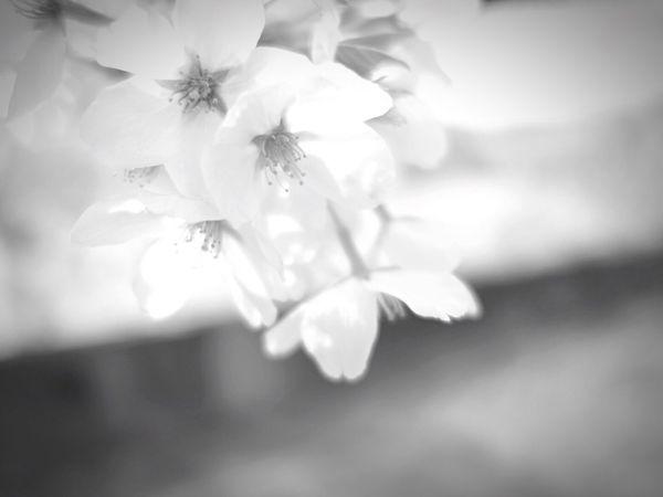さくら EyeEm Nature Lover Nature_collection Black & White Bw_collection