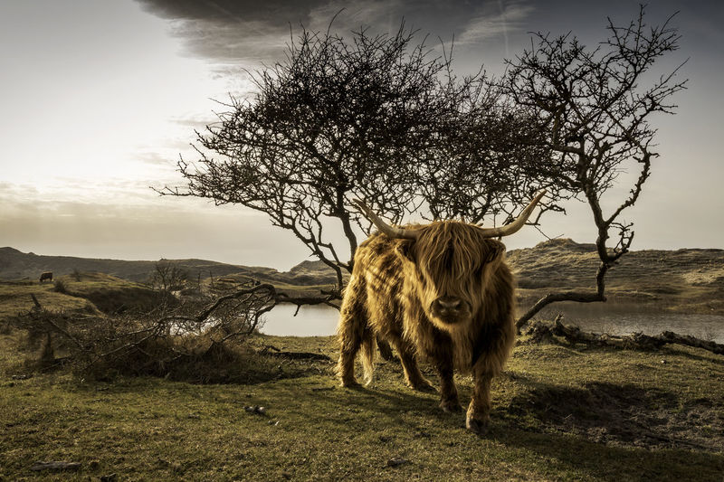 Highland Cattle On Field Against Cloudy Sky
