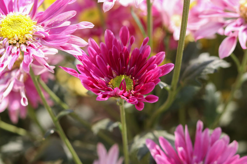 Flowers,Plants & Garden Plant Beauty In Nature Chrysanthemum Chrysanthemum Flower Chrysanthemum Garden Close-up Day Flower Flower Collection Flower Head Flower Photography Flowers, Nature And Beauty Freshness Gardent Grandifflora Nature Outdoors