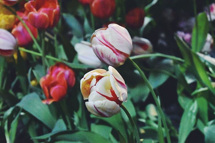 Tulip in Singapore Flower Beauty In Nature Blooming Plant