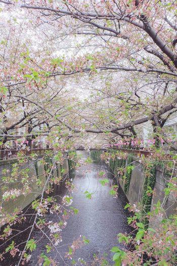 Meguro Meguro River Tokyo,Japan Tokyo Sakura2015 Pinkday