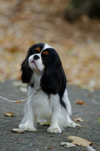 Time is flying and is Fall already. Ckcs Cavalier King Charles Spaniel EyeEm Best Shots - Autumn / Fall Dog Tricolor Dog Show Ckcs