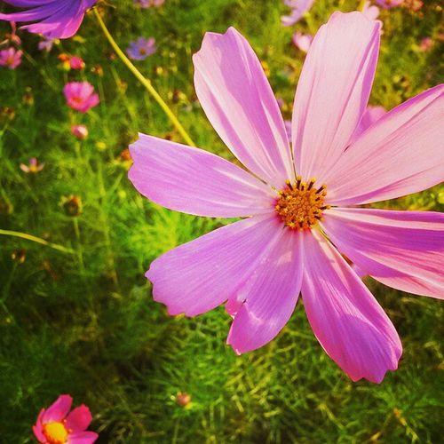 코스모스 Flower Korea Ansan