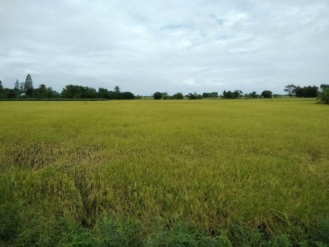 Tree Rural Scene Agriculture Field Cereal Plant Crop  Sky Landscape Grass Cloud - Sky