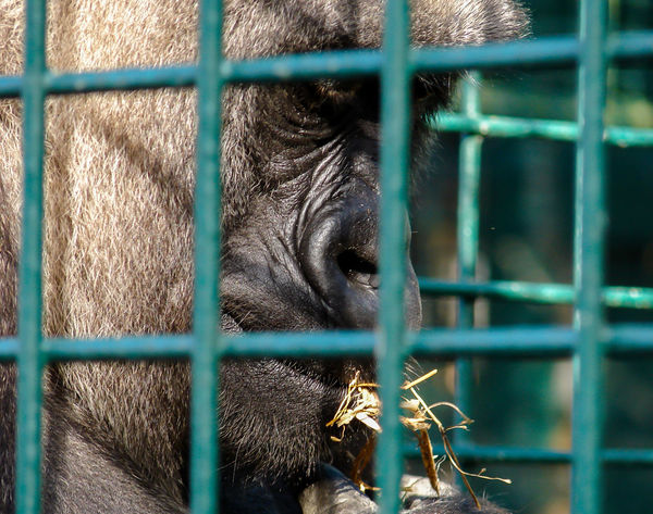 Animal Body Part Animal Head  Animals In Captivity Backgrounds Cage Chainlink Fence Close-up Day Fence Full Frame Gorilla Green Color Mammal Nature No People Outdoors Plant Portrait Selective Focus Zoo