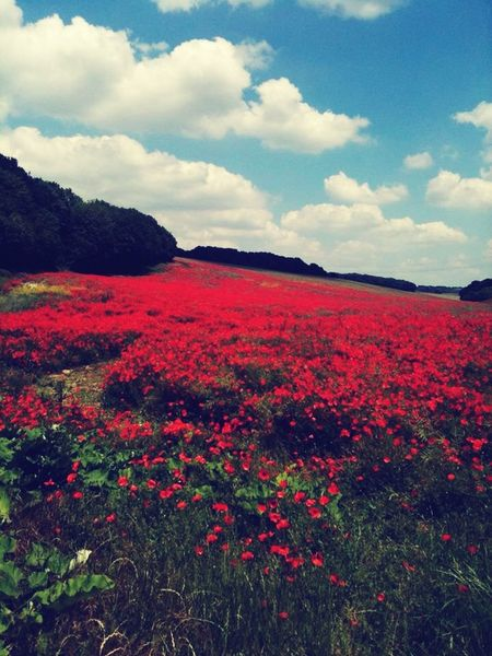 Nature Red Flowers Coquelicot