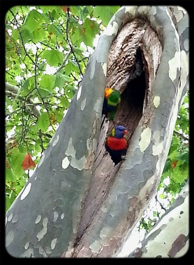 pair of beautiful lorikeets in the hollow of a tree Commuting Birds Animals