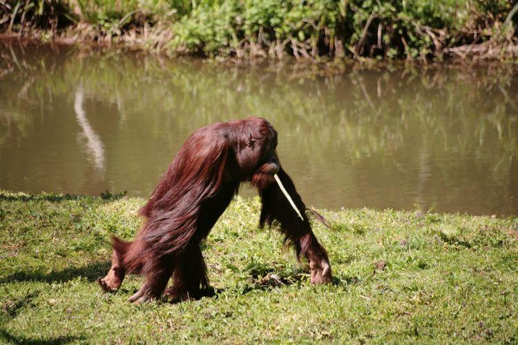 Orangutan Water