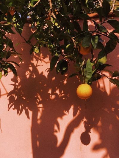 My Best Photo Orange - Fruit Europe Sicily EyeEm Best Shots EyeEmNewHere EyeEm Nature Lover EyeEm Gallery Shadows & Lights Shadow Sunlight Shadow Nature Plant High Angle View Leaf Day Growth Potted Plant Tree No People Outdoors Close-up Green Color Food Plant Part Beauty In Nature Freshness Land