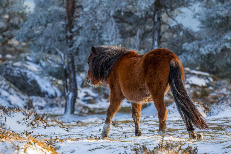 Horse walking on snow in forest