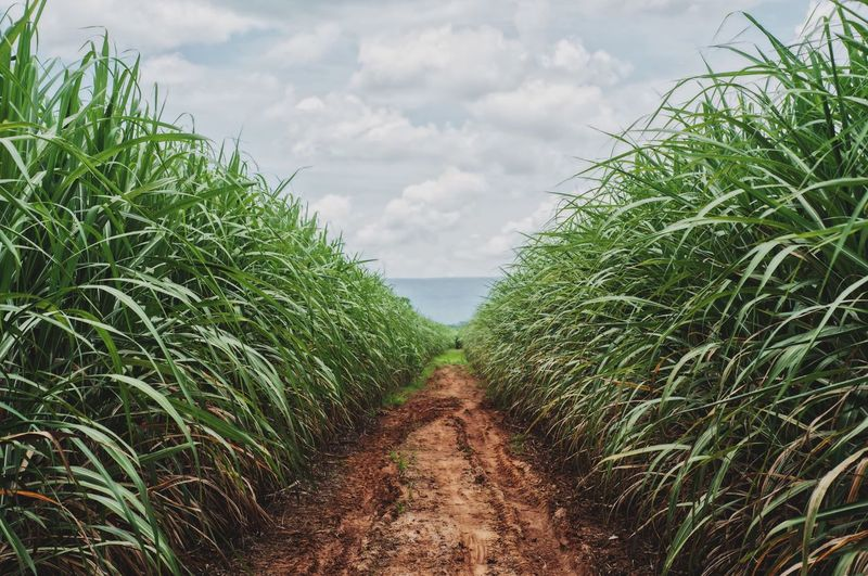 Sugar cane in thailand. Sugar Cane Cloud - Sky Plant Growth Nature Green Color The Way Forward Diminishing Perspective Beauty In Nature No People Tree Footpath Day Direction Architecture Land Tranquility Built Structure Outdoors Field