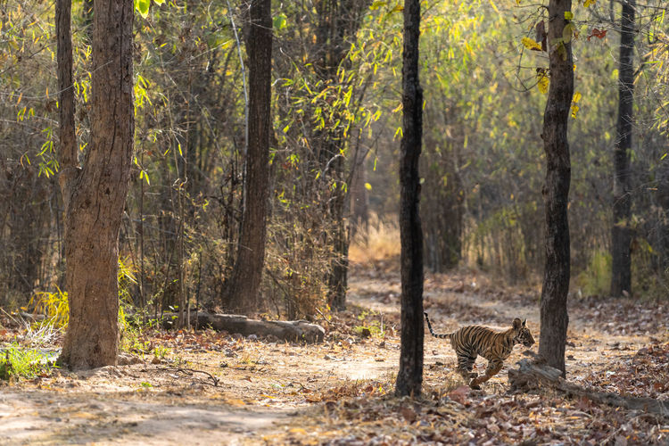 Tiger cub running amidst trees in forest