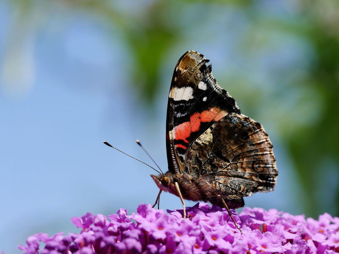 Close-up of butterfly on magenta flowers