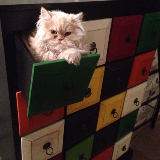 In The Drawer Drawer Drawers Persiancat jojo ❤️