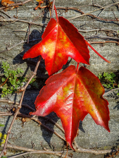 Two autumnal, red wine leaves on a wall Autumn Beauty In Nature Change Chlorophyll Close-up Day Fall Fall Colors Growth Leaf Maple Maple Leaf Nature No People Outdoors Pair Plant Red Two