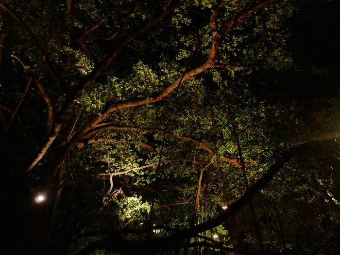 Green umbrella Tree Plant Growth Beauty In Nature No People Branch Tranquility Nature Low Angle View Night Outdoors Forest Scenics - Nature Tranquil Scene Plant Part Green Color Tree Canopy