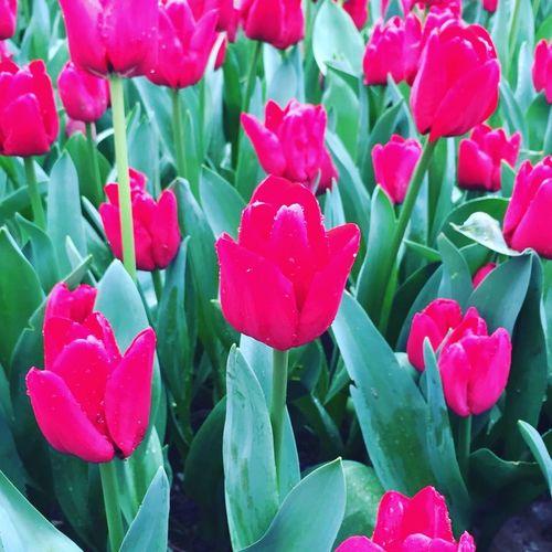 Tulip Tulips Tulips Flowers Istanbul Turkey Emirgan Emirgan Park Lale Lale'i_İstanbul Lalefestivali