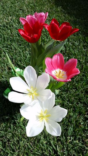 Spring Flowers Springtime Tulips Red Flowers White Tulips White Flowers Red Tulip Tulip Flowers Floral Easter Flowers