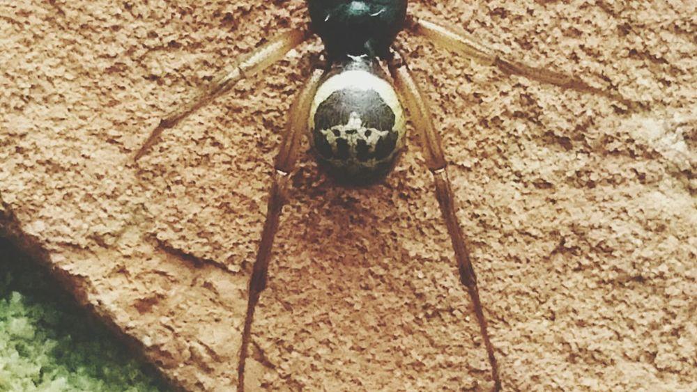 Spider False Widow