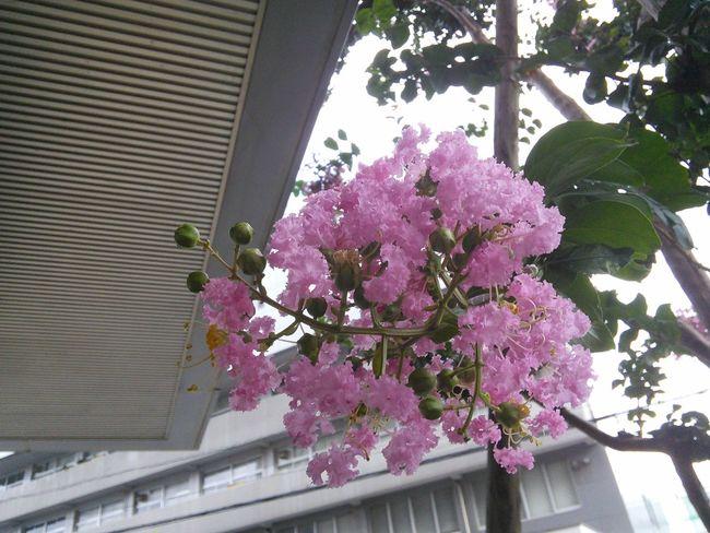 """""""サルスベリ"""" Flower Flowers Cute♡ Enjoying Life Gardening Flowerporn"""