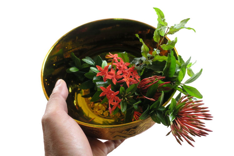 Tradition Ceremony Close-up Day Felicitous Flower Flower Head Freshness Holding Human Body Part Human Finger Human Hand Ixora Leaf Nature Water Bowl White Background