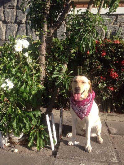 02/12/2017 - Peppa Dog PetsdoAri Labrador =.) Ari