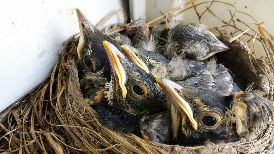 No People Close-up Animal Themes Nature Baby Robins Nest Beauty In Nature Growth The Week On EyeEm