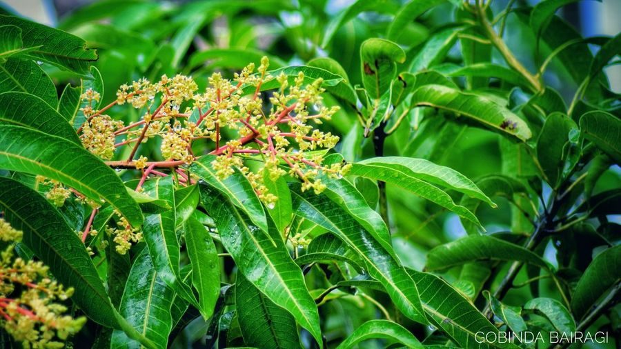 Mango blossoms Green Color Nature Leaf Plant Outdoors No People Growth Day Beauty In Nature Nature Reserve Green Grass Bongaon Gobinda The Freelancer Gobinda Bairagi Wet Water Rain Rainfall