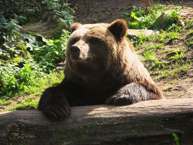 Animal Themes Brown Bear Brown Bear Relaxin Day Laziness No People One Animal Outdoors Plant Relaxation Resting Schwerin Mecklenburg-Vorpommern Zoo Zoological Garden Schwe Zoology