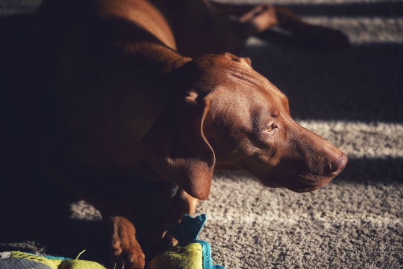 Contemplating Vizsla One Animal Mammal Pets Canine Dog Domestic Animal Animal Themes Domestic Animals Vertebrate Sunlight Day Nature No People Focus On Foreground Relaxation Animal Body Part Brown