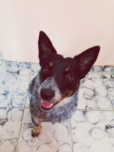 Lo Amo Mi Perro Osito ❤️? Pastor Australiano