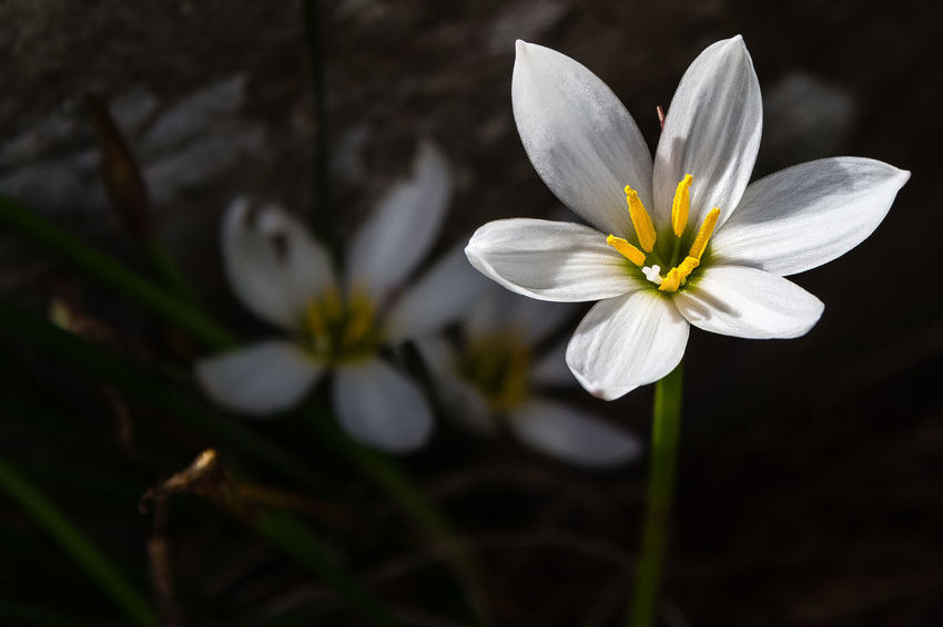 Zephyranthes candida, with common names that include autumn zephyrlily,[2] white windflower[3] and Peruvian swamp lily,[4] is a species of rain lily native to South America including Argentina, Uruguay, Paraguay, and Brazil. https://en.wikipedia.org/wiki/Zephyranthes_candida Zephyranthes Candida Beauty In Nature Blooming Close-up Flower Flower Head Petal White Color