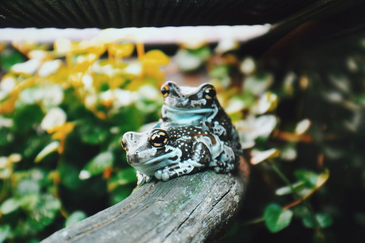 Frog Looking At Camera The Week on EyeEm Reptile Animal Wildlife One Animal No People Close-up Day Animal Themes Indoors  Nature