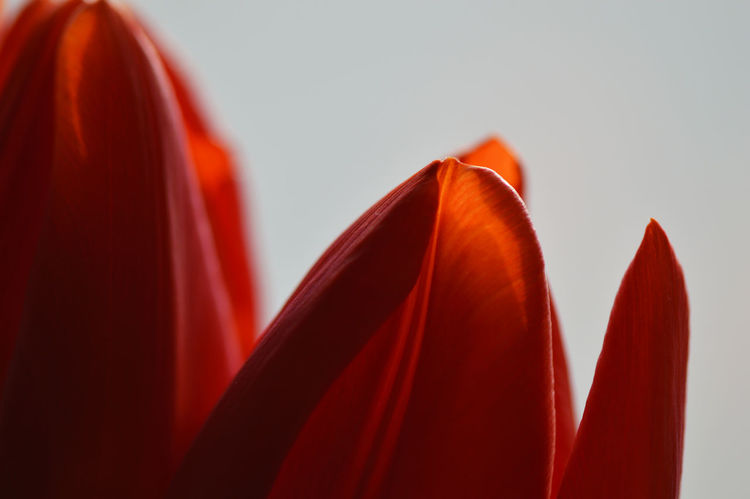 Tulips in the window to lure the spring... Backlit Beauty In Nature Blossom Close-up Day First Spring Flower Flower Flower Head Flowers Flowers In The Window Macro Macro_collection Macro_flower Nature Nature_collection Petal Petals Red Red Flower Red Tulips Spring Springtime Sunlit Tulip Tulips