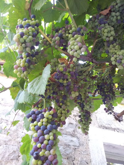 Grape...Fruit Grape Red Grape Freshness Healthy Eating Food And Drink Outdoors Food Nature No People Agriculture Mediterranean  Colors Juicy Mediterranean Life