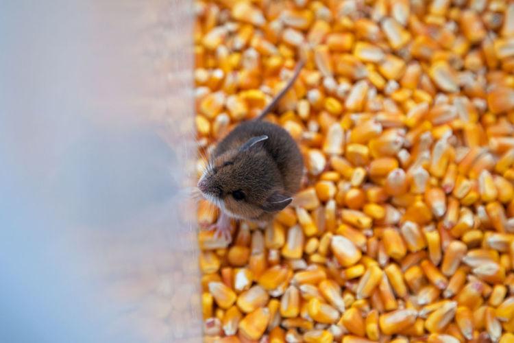 High angle view of mouse on corns