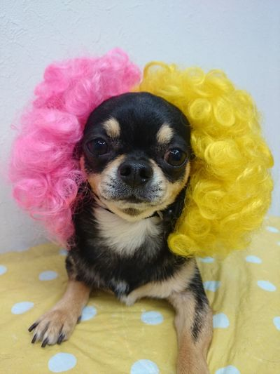 おばちゃんパーマw Chihuahua Dog Hair Hairstyle Permanent Mi_trimmer