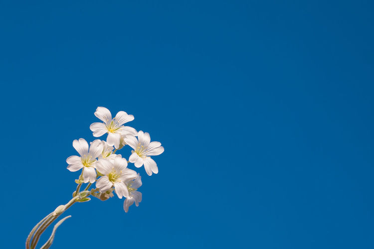 Low Angle View Of White Flowering Against Clear Blue Sky