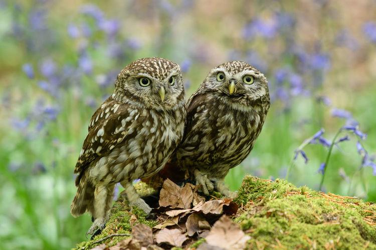 Little Owls -