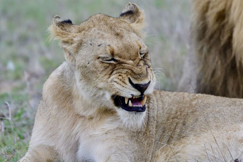 Close-up of lioness on field