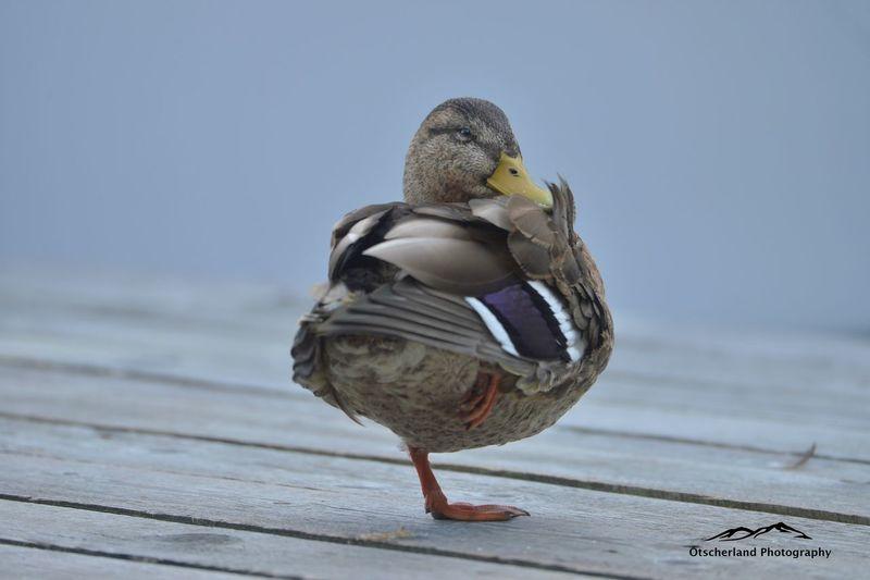 Ente beim