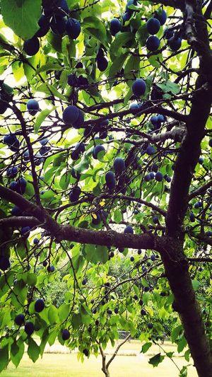 Fresh Montana Plums. Nature Photography Montana Hug A Tree