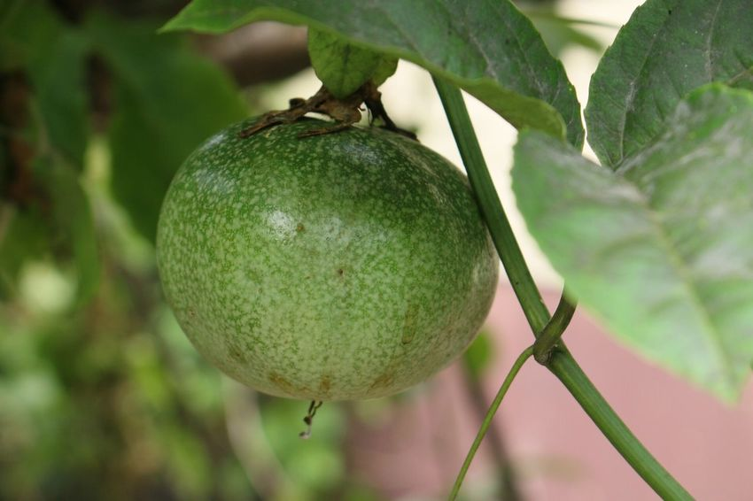 Passion Fruit Tree Passion Fruit Flower Passion Fruits Passion Fruit Passion Fruit Fruit Food And Drink Growth Food Healthy Eating Tree Freshness Focus On Foreground Day No People Close-up Leaf Green Color Beauty In Nature Nature Outdoors Branch