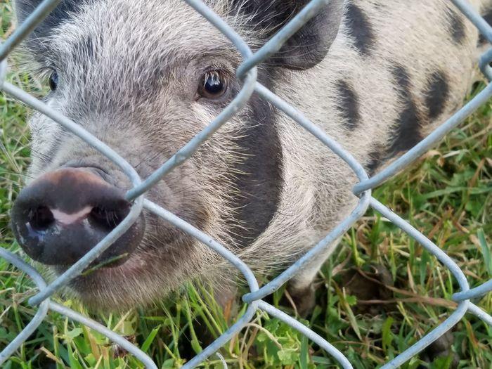 Kunekune Pig