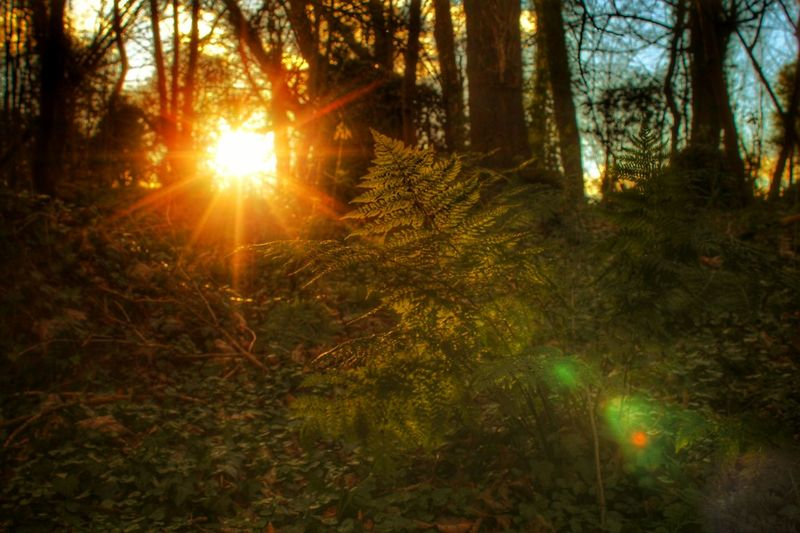 Afternoon Sun Breaks Through The Trees Woodland Sun Sun Beams Evening Sun Trees Fern Ferns Silhouette WoodLand Woodland Walk Lady Dixon Park Belfast Woodland Fern Natures Diversities EyeEm Gallery EyeEm Nature Lover EyeEm Best Shots - Sunsets + Sunrise EyeEm Best Shots - Nature Cast Shadows Backgrounds Background Light In The Forest Landscapes With WhiteWall Showing Imperfection The Great Outdoors - 2016 EyeEm Awards Perspectives On Nature Shades Of Winter