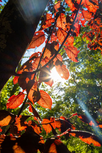 Low angle view of sunlight streaming through autumn leaves