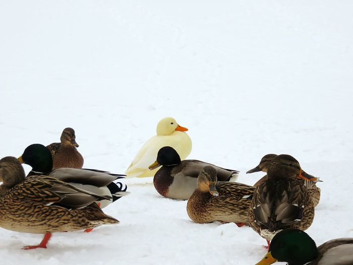 Ducks on snow covered field